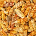Corn - Typical food Ecuador