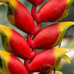 Heliconia Amazon Plant