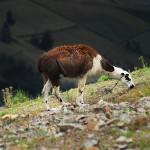 Llama - Ecuadorian Andes Travel